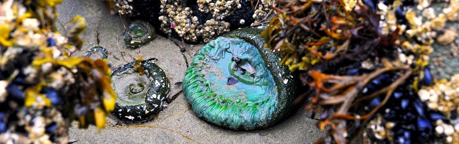Mořské sasanky při odlivu (Kanada)